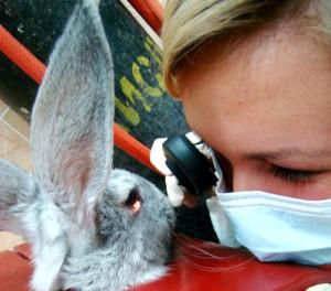 Оценка состояния глазного дня кролика с помощью офтальмоскопа при моделировании повреждения сетчатки