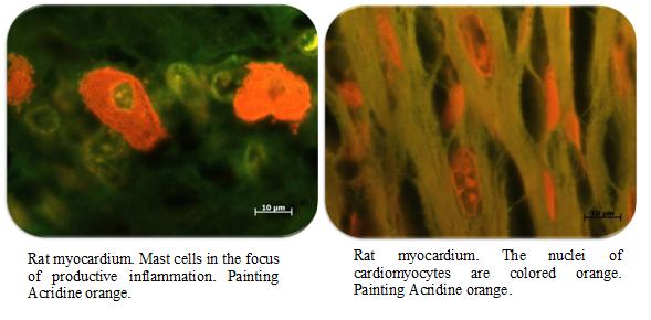 Миокард крысы