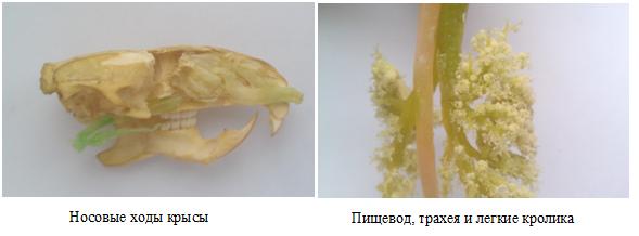 Нос, пищевод трахея