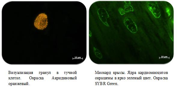 Тучная клетка и кардиомиоциты